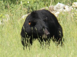 Adult black bear close up
