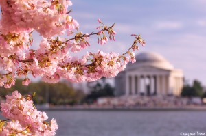 Pink cherry blossoms in front of the Jefferson Memorial in Washington. D.C.