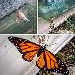 Empty coccoon, butterfly emerges, then spreads wings open