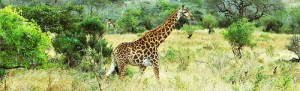 Giraffe walking through the wilderness.