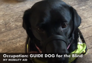"Frame from a vlog that shows a black guide dog and says ""Occupation: guide dog for the blind my mobility aid."""