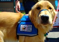 Picture of a service dog from the Wisconsin Academy for Graduate Service Dogs.