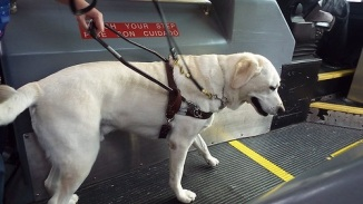 Seeing eye dog guiding a person on a conveyor belt.